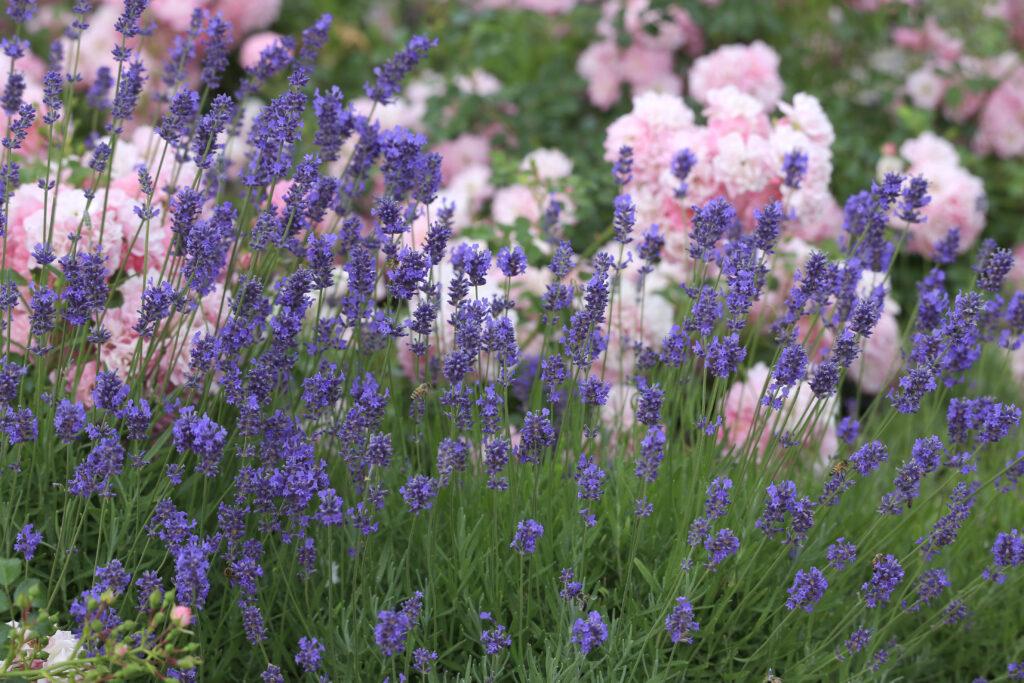 C2 A9Aggi Schmid Lavendel 1024x683 Die Pflanzentrends des Jahres