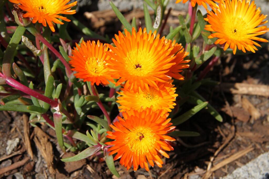 C2 A9Baerbel Mittagsblume 1024x683 Die Pflanzentrends des Jahres