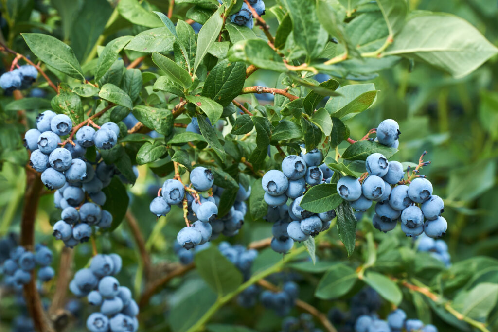 C2 A9Eike Blaubeere2 1024x683 Die Pflanzentrends des Jahres