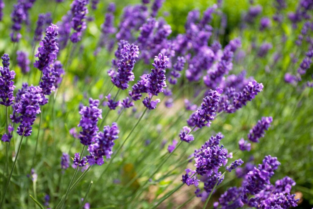 C2 A9Nailia Schwarz Lavendel 1024x683 Die Pflanzentrends des Jahres