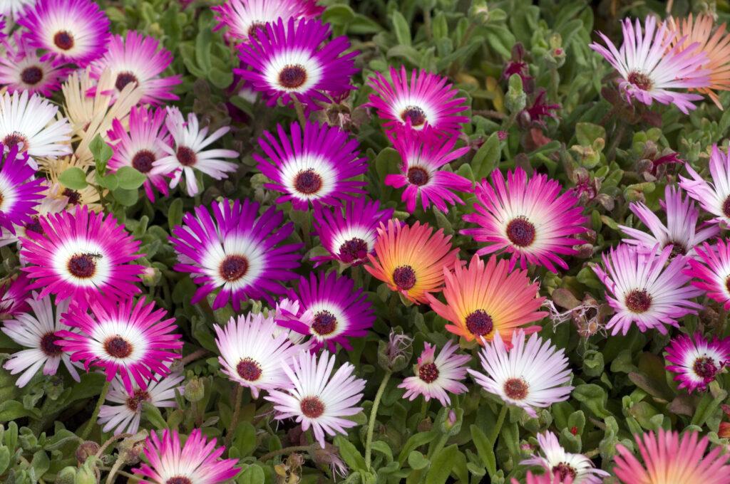C2 A9Ruckszio Mittagsblume 1024x680 Die Pflanzentrends des Jahres