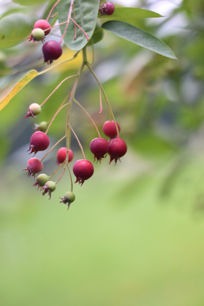 C2 A9summersum Amelanchier 683x1024 Die Pflanzentrends des Jahres